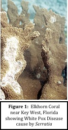 Figure 1: Elkhorn coral near Key West, Florida showing White Pox Disease cause by Serratia