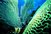 brain coral and sea fan, FKNMS